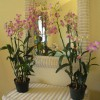 orchids-and-rayne